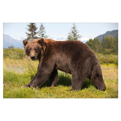 Adult Grizzly bear stands in profile and looks ove Poster