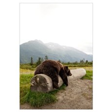 Adult Brown bear rests on a log at the Alaska Wild Framed Print