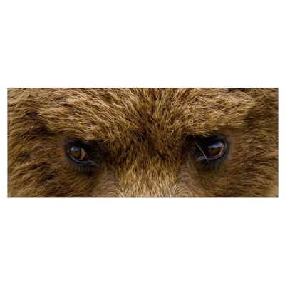 Close up of Brown bears eyes in Hallo Bay Katmai N Poster