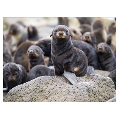 Portrait of a Northern Fur Seal pup St. Paul Islan Poster