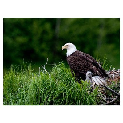 Bald Eagle nesting with her chick Kukak Bay Katmai Framed Print