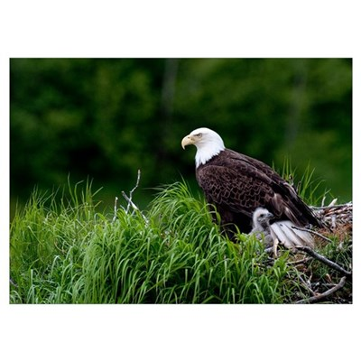 Bald Eagle nesting with her chick Kukak Bay Katmai Poster