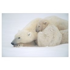 Mother Polar Bear and Cub Huddle in Snow Storm Poster