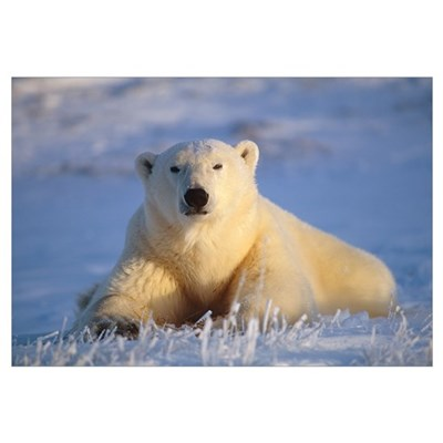 Adult Polar Bear Relaxing in Sun Framed Print