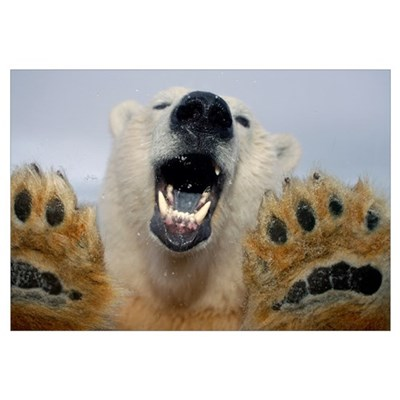 Polar Bear curiously looks in truck window Canvas Art