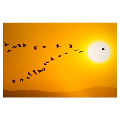 Canada geese migration in sunset Composite Poster
