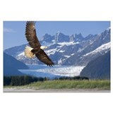 Bald eagle mendenhall glacier Framed Prints
