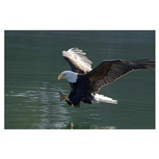 Close up of a Bald Eagle catching a fish out of th Poster