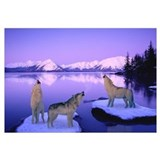 Howling wolf Framed Prints
