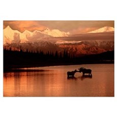 Moose Kissing in Wonder Lake Denali NP Digital Com Poster