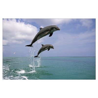 Pair of Bottle Nose Dolphins Jumping Roatan Hondur Poster