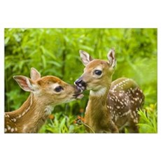 Twin White-tailed deer fawns nuzzling together in Canvas Art