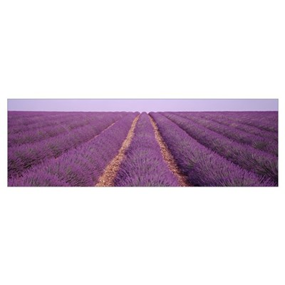 France, View of rows of blossoms in a field Poster