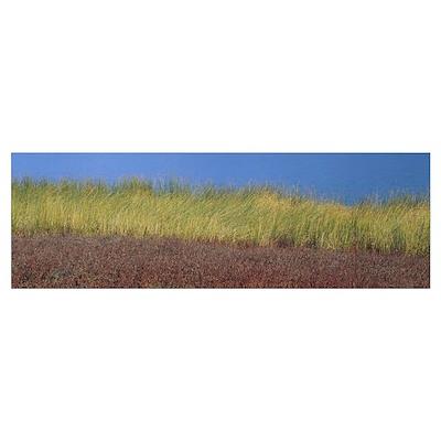 Reeds along a lake, California Poster