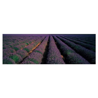Rows Lavender Field Valensole Provence France Poster