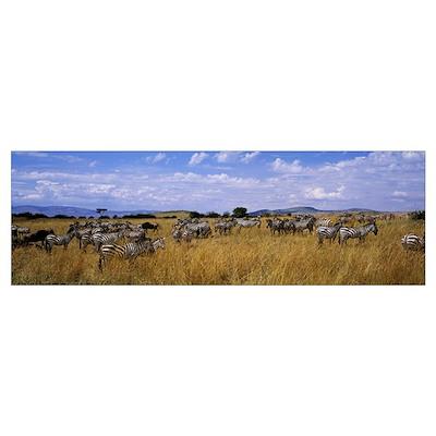 Common Zebra Maasai Mara Kenya Africa Poster