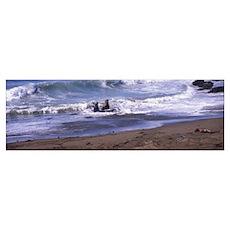 Elephant seals in the sea San Luis Obispo County C Poster