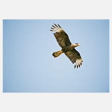 Crested caracara Caracara cheriway in flight Three