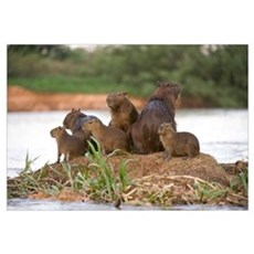 Capybara Hydrochoerus hydrochaeris family on a roc Canvas Art