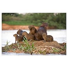 Capybara Hydrochoerus hydrochaeris family on a roc Poster