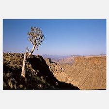 Lone Quiver tree Aloe dichotoma in a desert Ai Ais