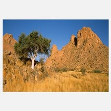 Commiphora spp tree in a desert Spitzkoppe Namib D