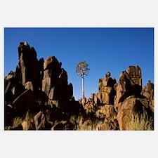 Quiver tree Aloe dichotoma among the large piles o