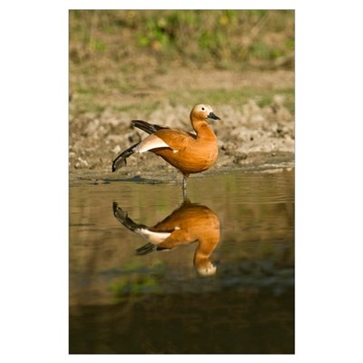 Close up of a Ruddy shelduck Tadorna ferruginea in Poster
