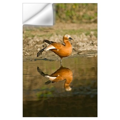 Close up of a Ruddy shelduck Tadorna ferruginea in Wall Decal
