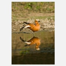 Close up of a Ruddy shelduck Tadorna ferruginea in