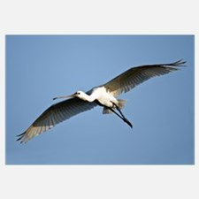 Low angle view of a Eurasian spoonbill Platalea le