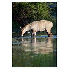 Nilgai Boselaphus tragocamelus drinking water from
