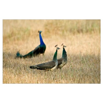 Peacocks with Peahens in a field Bandhavgarh Natio Poster