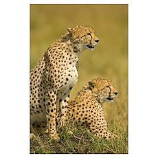 Close-up of two Cheetahs (Acinonyx Jubatus), Masai Poster
