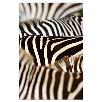 Close-up of stripes on Zebras, Masai Mara National Poster