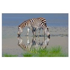 Two zebras drinking water from a lake, Ngorongoro Poster