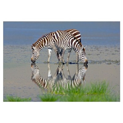 Two zebras drinking water from a lake, Ngorongoro Canvas Art