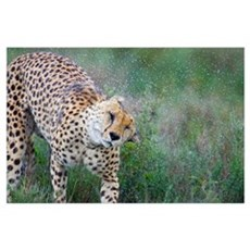 Cheetah shaking off water from its body, Ngorongor Poster