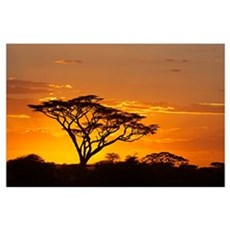Silhouette of trees in a field, Ngorongoro Conserv Poster