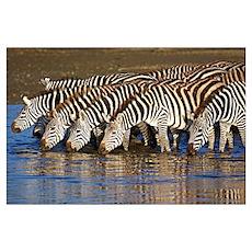 Herd of zebras drinking water, Ngorongoro Conserva Poster