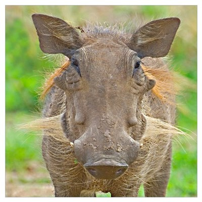 Close-up of a warthog, Lake Manyara, Arusha Region Framed Print