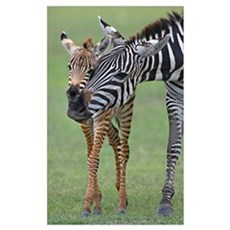 Zebra and its foal in a field, Ngorongoro Conserva Poster