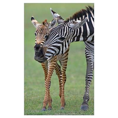 Zebra and its foal in a field, Ngorongoro Conserva Framed Print