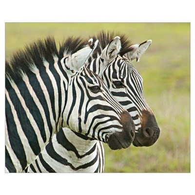 Close-up of two zebras, Ngorongoro Conservation Ar Framed Print
