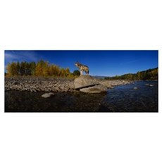 Wolf standing on a rock at the riverbank, US Glaci Canvas Art