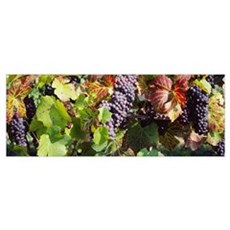 Close-up of red grapes in a vineyard, Finger Lake Poster