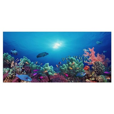 School of fish swimming near a reef, Indo-Pacific Poster