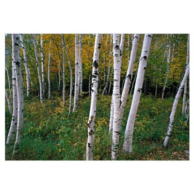 Stand Of White Birch Trees Framed Print
