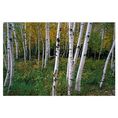 Stand Of White Birch Trees Poster