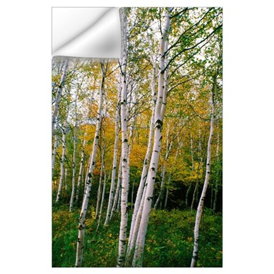 Stand Of White Birch Trees Wall Decal